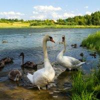 Лебединая семья :: TolyboG (Анатолий) Богаченко
