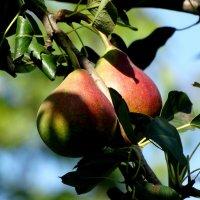 Плоды груши... :: Тамара (st.tamara)