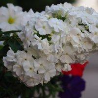 Белое :: Zifa Dimitrieva
