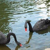Черные лебеди :: Evgeny St.