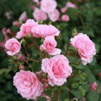 Розы :: Артур Капранов