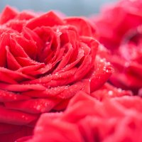 Розы после дождя :: Светлана Шишова