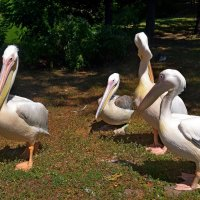Пеликаны загорают :: Ростислав