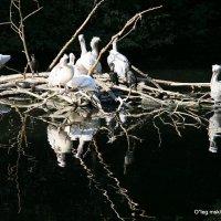 редкие животные - пеликанчики :: Олег Лукьянов