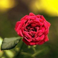 Роза :: Александр Смольников