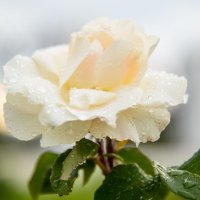 Цветы :: Александр Фищев