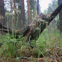 Семена сон-травы :: Иля Григорьева