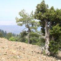 Кипр. У этого дерева была непростая жизнь... :: Одиноков Юрий
