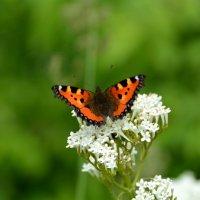 бабочка :: Ирина Регер