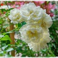 Отцветает роза чайная... :: марк