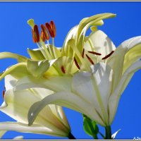 Белых лилий букет :: Андрей Заломленков