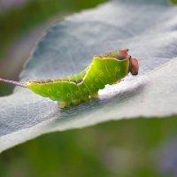 Окукливание  гусеницы :: Геннадий Супрун
