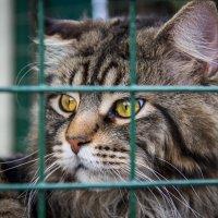 норвежский дикий кот :: Владимир Гусаров