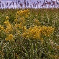 Цветы и травы июля. :: Лилия *
