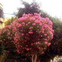 Розовый олеандр :: Герович Лилия