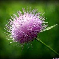 Луговые цветы :: Андрей Заломленков