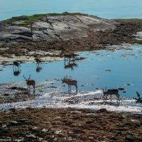 Северные олени :: Надежда Лаптева