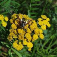 пчелка на пижме :: Сергей Цветков