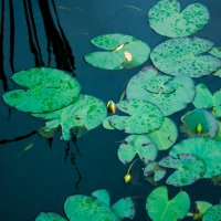Лепестки лилии :: Zifa Dimitrieva