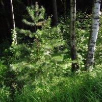 В лесу родилась елочка :: Андрей Лукьянов