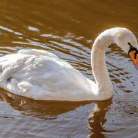 Белый лебедь :: Михаил Вандич