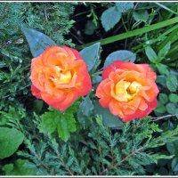 Две розы :: muh5257