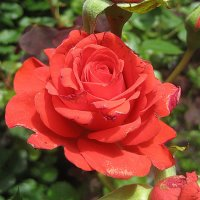 Красная роза :: laana laadas