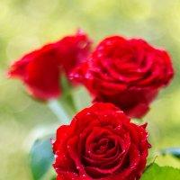 Розы :: Леонид Никитин