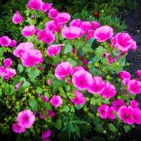 Цветы на даче :: Владимир Сквирский