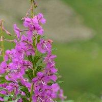 цветок в горах - Иван чай :: Горный турист Иван Иванов