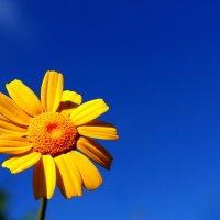 жёлтая ромашка :: Ефим Журбин