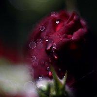 Роза :: Alena Sturova