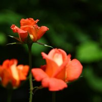 роза 2 :: Игорь Гарагуля