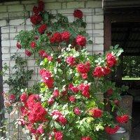 Роза вьющаяся :: laana laadas