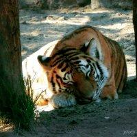 Дневной сон амурского тигра :) :: Lady Etoile