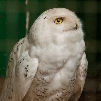 Белая сова :: Sergey