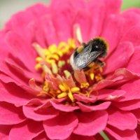 пчела собирает пыльцу :: ~К а р е г л а з а я~
