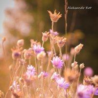 полевые цветы :: Александр Кот