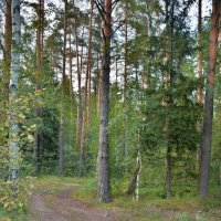 Подмосковный лес :: Виктор Филиппов