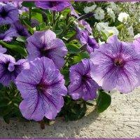 Бордюрные цветы :: Андрей Заломленков