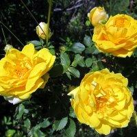 Лучик солнца в саду ! :: Мила Бовкун
