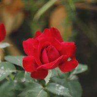 Розы :: Сергей Игнатов