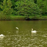 Лебединый пруд :: Владимир Болдырев