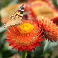 Бабочка и бессмертник :: Татьяна Бабкина