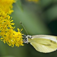 Бабочка :: Ирина Рассветная