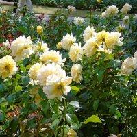 Розы в парке :: Наталья (Nata-Cygan) Цыганова