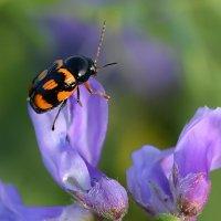 Пёстрый  жук :: Геннадий Супрун