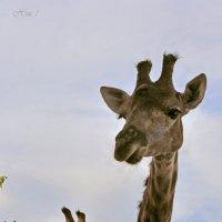 Жирафы :: Николай Ярёменко
