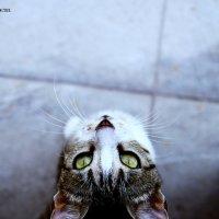 кошка-попрошайка :: karandashik /