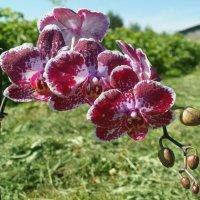 орхидея :: владимир володенок